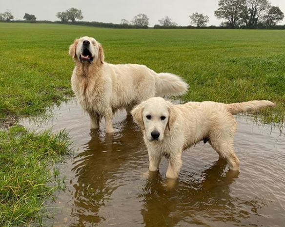 Golden Retriever Puppy Becomes Guide For Blind Dog